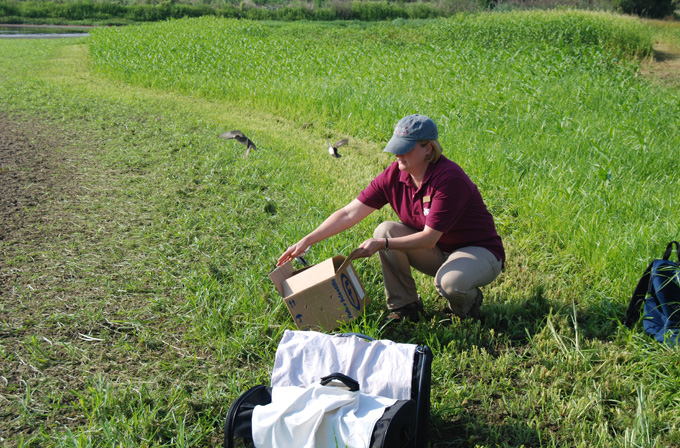 Tri-State Bird Rescue releases rehabilitated shorebirds at the Liston Farm