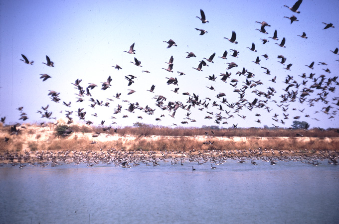Geese take flight over the marsh